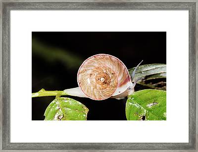 Snail In The Rainforest Understory Framed Print