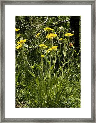 Sneezeweed Dugaldia Hoopesii Framed Print