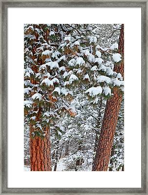 Snow Fills The Boughs Of Ponderosa Pine Framed Print by Chuck Haney