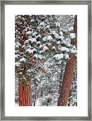 Snow Fills The Boughs Of Ponderosa Pine Framed Print