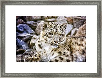 Snow Leopard Framed Print by Daniel Precht