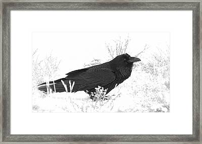 Snow Raven Framed Print