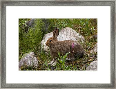 Framed Print featuring the photograph Snowshoe Hare by Chris Scroggins