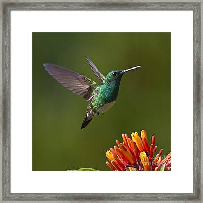 Snowy-bellied Hummingbird Framed Print by Heiko Koehrer-Wagner