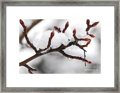 Snowy Branch Framed Print by Elena Elisseeva
