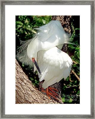 Snowy Egret In Breeding Plumage Framed Print by Millard H. Sharp