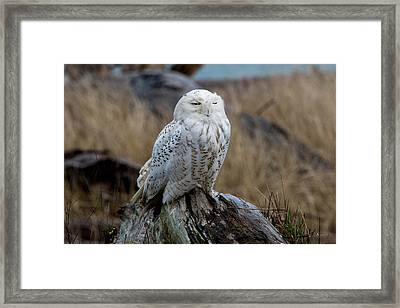 Snowy Owl Framed Print by David Yack