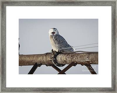 Snowy Owl In Kenosha Framed Print by Ricky L Jones