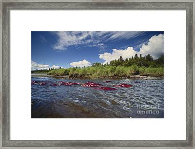 Sockeye Salmon Spawning Framed Print