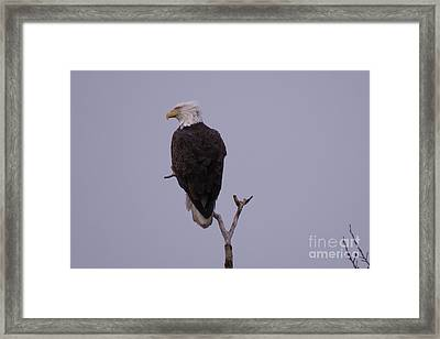 Solo  Bald Eagle Framed Print