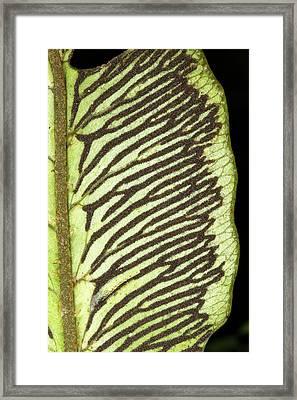 Sori On The Underside Of A Fern Leaf Framed Print by Dr Morley Read