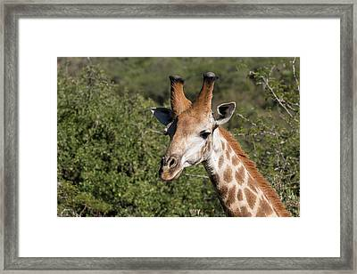 South Africa, Durban, Tala Game Reserve Framed Print