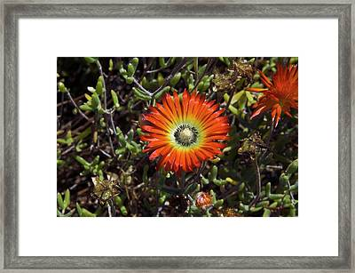 South African Flowers Framed Print by Dr P. Marazzi/science Photo Library