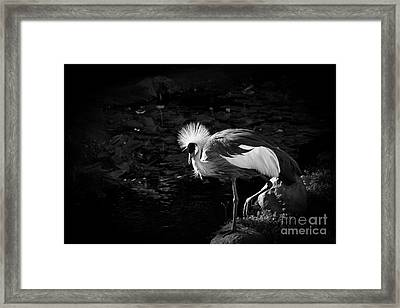 South African Grey Crowned Crane Framed Print by Sharon Mau