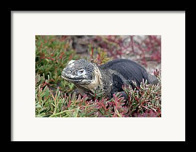 Land Iguana Framed Prints