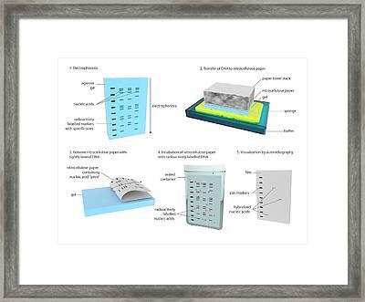 Southern Blot Dna Analysis Framed Print