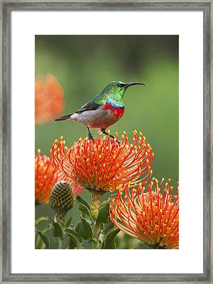 Southern Double-collared Sunbird Framed Print