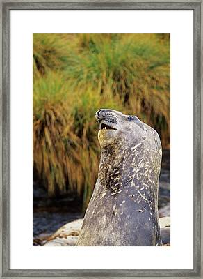 Southern Elephant Seal Bulls In Mock Framed Print by Martin Zwick