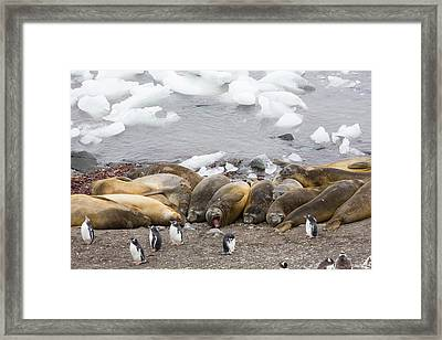 Southern Elephant Seals Framed Print by Ashley Cooper