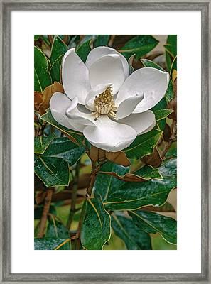 Southern Magnolia (magnolia Grandiflora) Framed Print by Dr. Nick Kurzenko