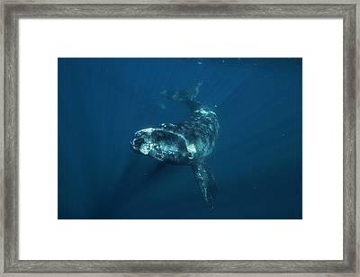 Southern Right Whale Calf Valdes Framed Print by Hiroya  Minakuchi