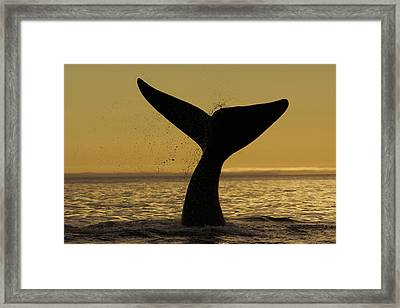 Southern Right Whale Tail Slap Valdes Framed Print by Hiroya  Minakuchi