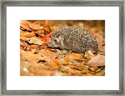 Southern White-breasted Hedgehog Framed Print
