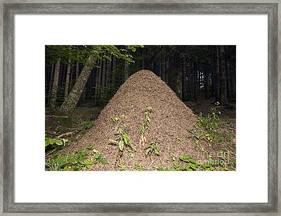 Southern Wood Ant Nest Framed Print by Paul Harcourt Davies