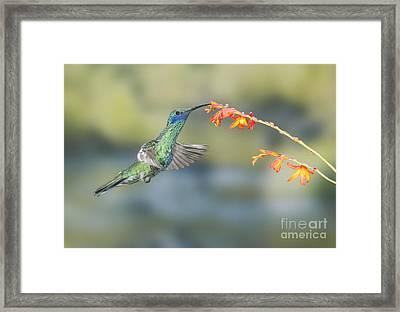 Sparkling Violet-ear Hummingbird Framed Print
