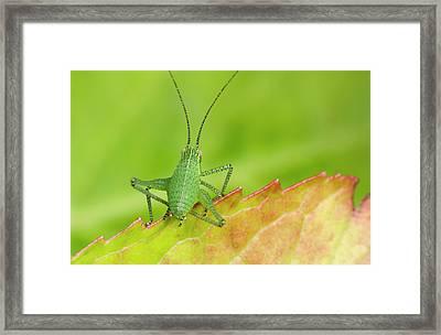 Speckled Bush Cricket Nymph Framed Print by Nigel Downer