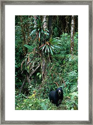 Spectacled Bear Framed Print by Art Wolfe