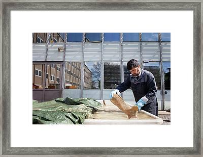 Sperm Whale Bone Preparation Framed Print by Thomas Fredberg