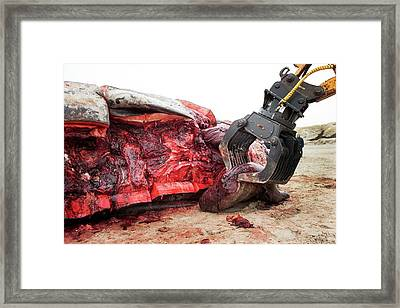 Sperm Whale Dissection Framed Print