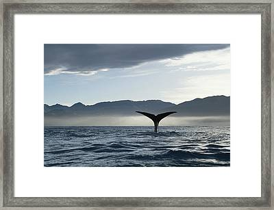 Sperm Whale Physeter Macrocephalus Framed Print by Flip Nicklin