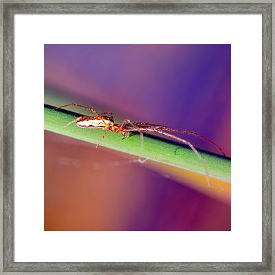 Spider In The Reeds Framed Print by Tommytechno Sweden