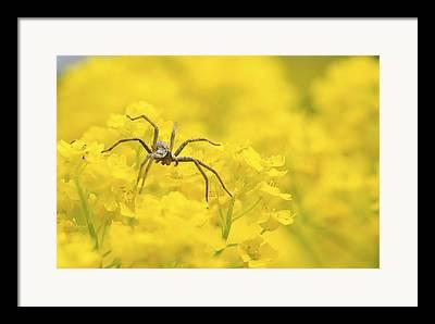 Spider Flower Framed Prints