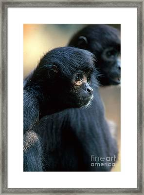 Spider Monkey Framed Print by Art Wolfe