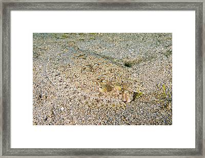 Spiny Flounder Framed Print by Andrew J. Martinez