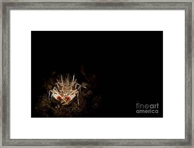 Spiny Tiger Shrimp Amongst Volcanic Framed Print by Steve Jones