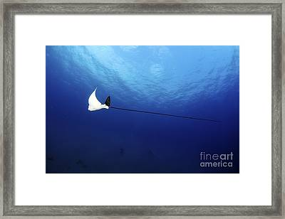 Spotted Eagle Ray Framed Print by PhotoStock-Israel