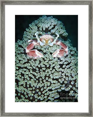 Spotted Porcelain Crab In Anemone Framed Print by Steve Jones
