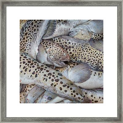 Spotted Wolffish, Iceland Framed Print by Panoramic Images