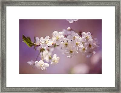 Spring Cherry Tree Branch Framed Print