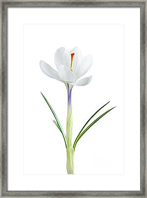 Spring Crocus Flower Framed Print