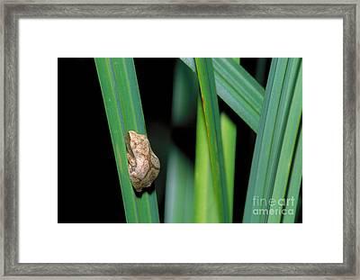 Spring Peeper Frog Framed Print by Larry West