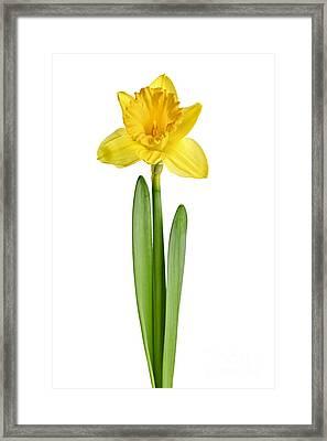 Spring Yellow Daffodil Framed Print