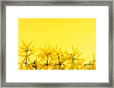 Spring Yellow Forsythia  Framed Print by Elena Elisseeva