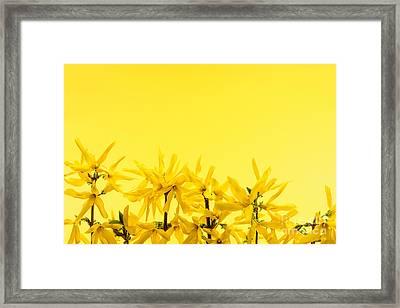 Spring Yellow Forsythia  Framed Print