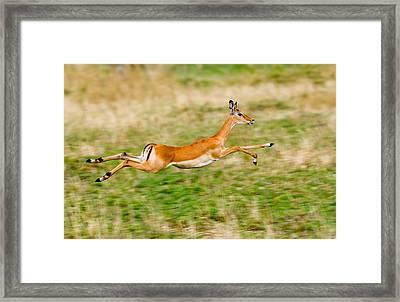 Springbok Leaping In A Field Framed Print