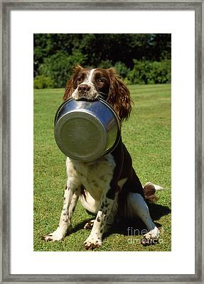 Springer Spaniel Dog Framed Print by James Marchington